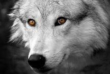 farkas / hát farkasokról , vérfarkasokról