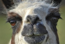 Llamas & Alpacas / If you could spare a minute or two I'd love to show you my online stores!  http://www.zazzle.com/mbr/238612242745795440  Thanks for stopping by and have a great day!   / by dww25921 on Zazzle