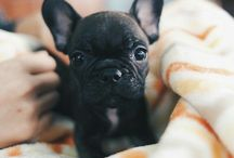 Cuteness Overload / Mostly frenchies