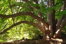 Trees at Morris Arboretum