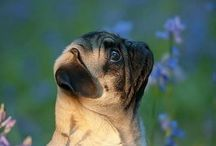♡Pugs♡ /  I have a pug he is so cute!!!!!!!!!!