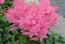 Pink perineal flowers