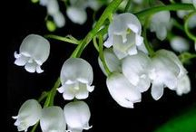 Lily of the valley. Ландыши. / /