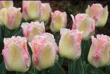 Tulip. Тюльпан. / /