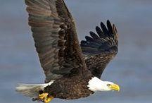 Eagle / Kartal / Kartallar / Eagle