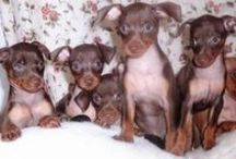 """The Worlds Cutest Dogs / Finding the cutest Dogs to """"Pin"""" Starting with my """"Min Pin Litter"""""""