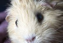 I <3 Guinea Pig