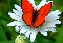 Butterflies / Butterlies, Dragonflies and Moths that I love