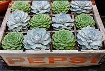 Succulents&Cactus - Species, Tips & Containers