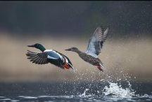 Oiseaux visibles au bord de l'eau en Sologne / Oiseaux fréquentant les étangs ou les rivières de Sologne soit à l'année, soit lors de leur migration et visibles lors des sorties organisées par Sologne Nature Environnement