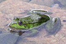 Grenouilles, crapauds, tritons et salamandre de Sologne / Batraciens que l'on peut rencontrer lors d'une sortie naturaliste organisée par Sologne Nature Environnement