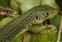 Couleuvres, lézards, orvet et autre vipère de Sologne / Quelques uns des reptiles pouvant être rencontrés lors d'une sortie naturaliste organisée par Sologne Nature Environnement