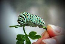 Pas de papillons sans chenilles ! / Si l'on veut des papillons, il faut accepter les chenilles !  Les chenilles ont souvent un régime alimentaire spécifique selon les espèces et ne se nourrissent que d'une ou quelques plantes. Saule, viorne, sureau, épilobe, salicaire, cardamine, ortie sont particulièrement appréciées, tout comme les mélanges de trèfle et de graminées de la prairie fleurie.