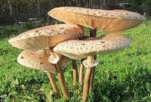 Les Champignons / Les champignons offrent une multitude de formes et de couleurs ; parmi les plus convoités, citons le Cèpe de Bordeaux, la Girolle, la Trompette de la mort… N'oublions pas que la majorité des champignons supérieurs est indispensable à la survie de la plupart des arbres, ni le rôle important qu'ils jouent dans la décomposition de la matière organique - http://sologne-nature.org/