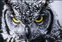 Gorgeus Majestic Owl's / Przepiękny, uroczy zbiór sowich grafik :)