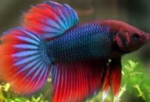Peces de acuarios (Acuarium Fish) / by Mariella Bobadilla Pichardo