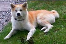 Our Akita Inu dogs / Akita Inu dog since 2000 Akuma   *10-12-1999  - + 03-04-2013 Miyuki    * 17-08-2007 -  Machiko * 03-02-2013 -