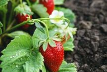 Garden =fruit and veg / organic fruit and veg growing tips / by Irina Wilmot