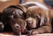 Chocolate Labrador collection / Labradors/Brown/Chocolate