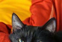 Amo Gatos / O gato, também conhecido como gato caseiro, gato urbano ou gato doméstico, é um animal da Família dos felídeos, muito popular como animal de estimação e eu tenho um e amoooo meu companheiro de patinhas peludas.
