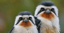 Falcons: Falconets, Pygmy-Falcons / Smaller falcons the Falconets and Pygmy-Falcons are members of the family FALCONIDAE, subfamily FALCONINAE.  There are only 5 Falconets, and 2 Pygmy-Falcons.  All but one lives in the Indomalayan area  except the African Pygmy-Falcon.