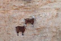 horské kozy