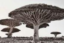 Socotra, joyau du Yémen / Le Moyen-Orient, on en parle tous les jours, et dans des termes assez terrifiants pour les voyageurs. Mais savez-vous quels trésors inestimables s'y cachent ? A commencer par l'envoûtante île de Socotra au Yémen. Coupée du continent depuis plusieurs millions d'années, la « Galápagos de l'océan Indien » a poursuivi son petit bonhomme de chemin seule et a développé son propre écosystème, pour un résultat tout à fait spectaculaire !
