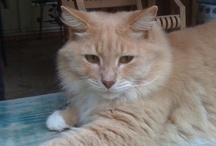 Mr Goldie...A Perfect Cat!! / I love you, Mr Goldie~ Date of Birth Unknown - Died, January 3, 2013