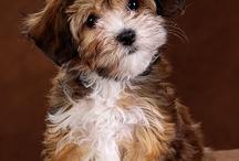Havanese  Bichon havanais Bichon habanero puppy lion dog bichon lionais loewenhound / Havanese dog,, puppy