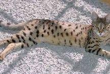 Beautiful Savannahs / Appreciating the beauty of the Savannah Cat