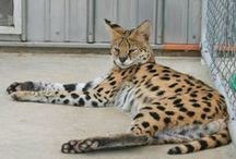 Our Servals
