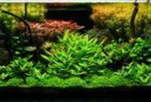 Aquascapes / Planted Tanks / Planted aquarium displays.