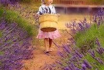 Lavender , lavendel
