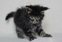 Maine coon moon / Maine coon and other cats
