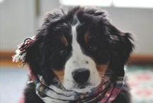 Beautiful Berners. .. I own one!!! / The most phenomenal dog you will ever know.... and I own one!