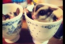 Sugar Gliders and Their Toys / Sugar Gliders, their toys and DIY ideas for Enriching their lives.