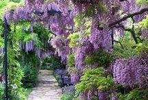 Botanical Beauty, Wisteria ♥ / Lots & lots of beautiful Wisteria ... love it ♥