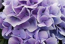 Botanical Beauty, Hydrangeas ♥ / I just love these great big, beautiful, colourful pom-poms ♥