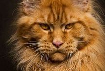 Maine Coon Madness / I WILL own one of these incredible Kitties one day!