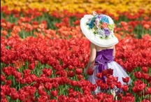 Photos of beautiful flower garden in the Holland / The Netherlands have called the cradle of flowers. In this country, more than 500 kinds of different flowers and the plant will be exported to all countries of the world. At first glance, these images look like pencil drawings. Net striped colors purple, yellow, red, pink, orange, green and innovative combinations.