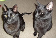 My two black cats