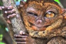 Frogbears / While researching how ecology influences host-virus evolution I realised how ridiculously cute tarsiers are. Tarsiers are tiny primitive primates that live in South East Asia. They look a bit like a cross between a frog and a small bear, or Master Yoda and a possum (yodapossums). There are many unusual things about their biology, some of which are mentioned here.