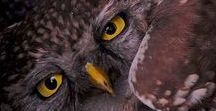 「 Sʈrigidαe 」 / búhos, lechuzas, mochuelos ―  aves, nocturnas, rapaces