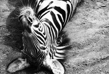 zebras / by Sydney Vegezzi