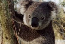 koalas / by Sydney Vegezzi