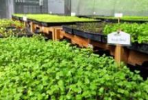 Parador's Microgreens / From Parador's greenhouse to Chef Alejandro's kitchen. / by Parador Resort & Spa, Costa Rica