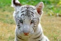 White Tigers And White Lions ...Witte Tijgers of Leeuwen (Lievelingsbeest)