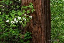 Redwoods & Forest / coast redwoods, giant sequoias, dawn redwood trees, old-growth forests; tree & forest quotations, poetry, and artwork; anything redwood-reminiscent / by Terri Guillemets