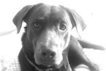 Mój Lab / Labrador