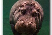 amo los hipopotamos!!